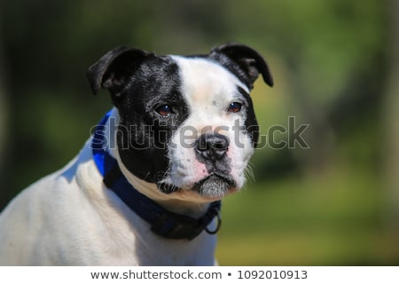Bull terrier blanche bleu Homme permanent Photo stock © cynoclub