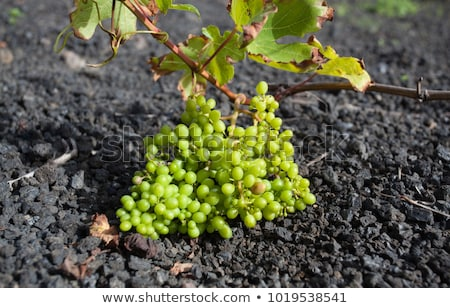 vineyard in Lanzarote island, growing on volcanic soil  Stock photo © meinzahn