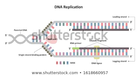 DNA Replication Fork Stock photo © idesign