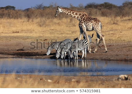 giraffe during safari in south africa stock photo © compuinfoto