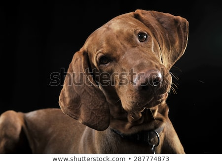 hungarian vizsla turning his head in a dark studio Stock photo © vauvau