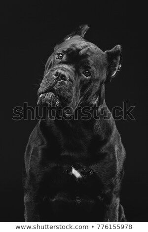 puppy canecorso portrait in white studio Stock photo © vauvau
