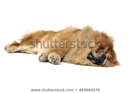 Stock photo: Beautiful chow chow paw in a white photo studio