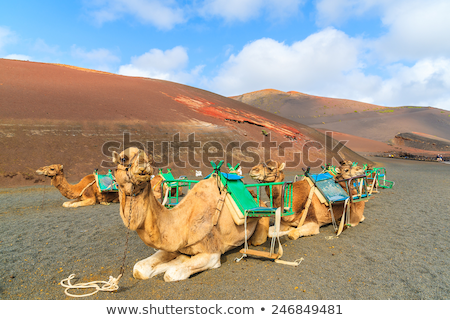 tourists riding camels in timanfaya national park stock photo © fotoedu