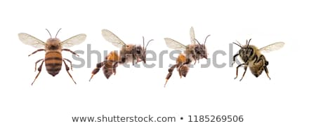 back of bee flying stock photo © bluering