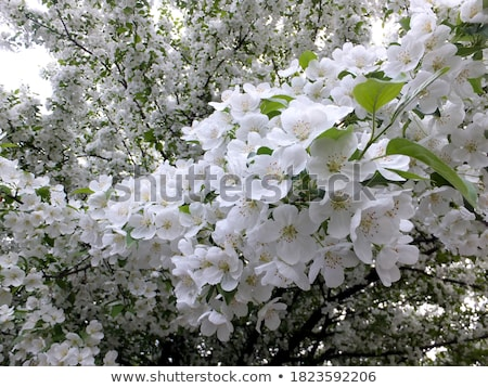 Spring brings the branches of the trees to flowering Stock photo © Klinker