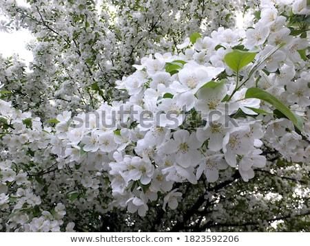 Bahar ağaçlar çiçekli küçük beyaz çiçekler Stok fotoğraf © Klinker