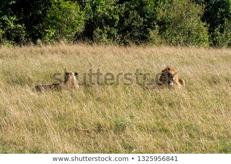 Lion mating couple standing in the grass. Stock photo © simoneeman