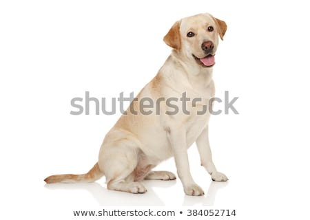 Stockfoto: Bruin · labrador · retriever · witte · spelen · studio · bal
