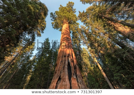 Kalifornia · óriásfenyő · erdő · San · Francisco · USA · fa - stock fotó © dirkr