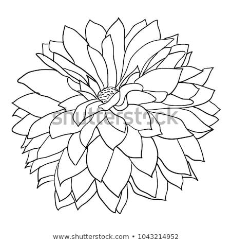 хризантема георгин цветок ретро Vintage Сток-фото © Krisdog