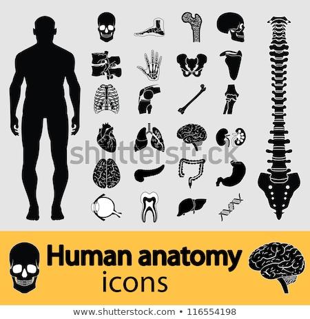 anatómia · szem · gyógyszer · emberi · írisz · biológia - stock fotó © bluering