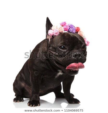 cute panting french bulldog with colorful flowers headband Stock photo © feedough