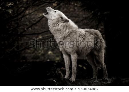 Farkas hold éjszaka állat grafikus árnyék Stock fotó © cienpies