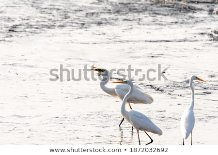Egret migration to the pond Stock photo © bluering