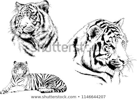 тигр рисованной изолированный белый лице моде Сток-фото © doomko