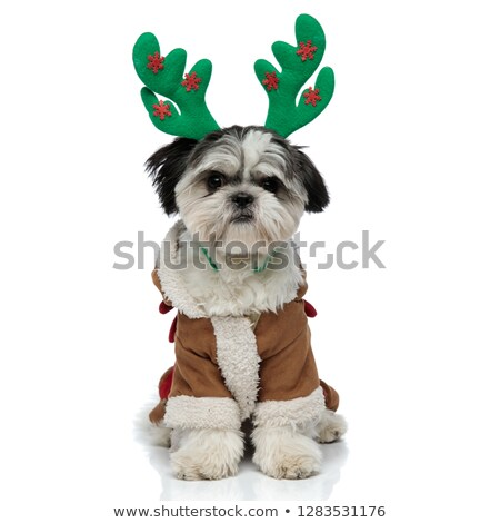 cute shi tzu wearing warm costume and reinderr antlers Stock photo © feedough