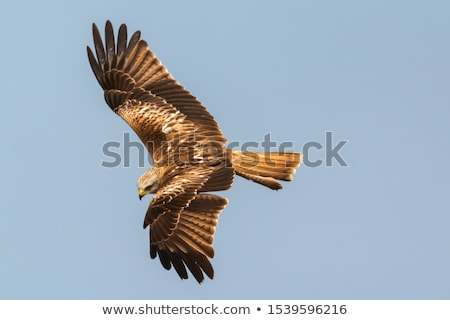 Awesome bird of prey in flight with the sky of background Stock photo © galitskaya