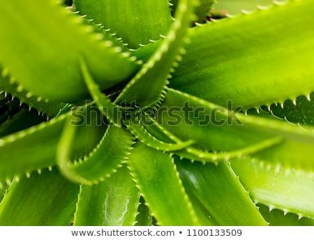 Aloe succulente impianto dettaglio luce verde Foto d'archivio © boggy