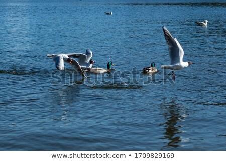 blanco · negro · superficial · naturaleza · aves · pluma - foto stock © taviphoto