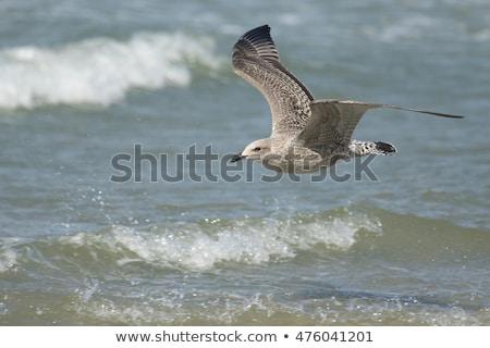 flying European Herring Gulls, Larus argentatus Stock photo © artush
