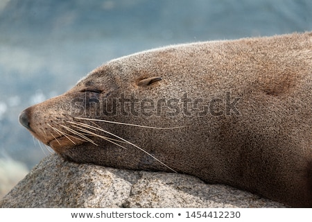 Sleeping seal rests on a rock after a feed Stock photo © lovleah
