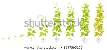 Hop Agriculture Farm Ingredient For Brewing Vector Stock photo © pikepicture
