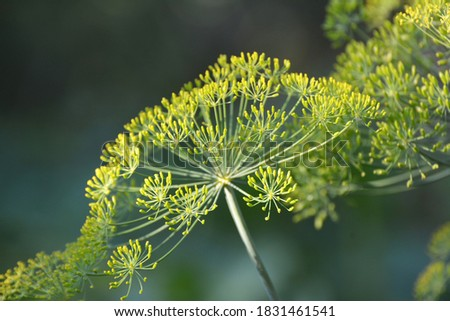 dill grows in nature Stock photo © romvo