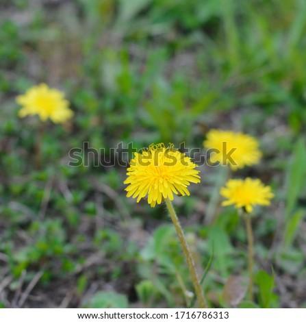 Dientes de león primavera granja campo flor Foto stock © taden