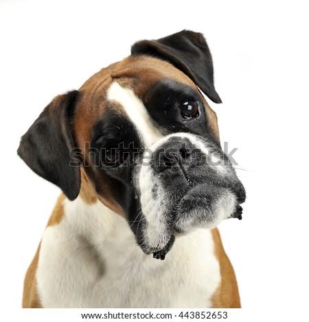 Szép fiatal boxoló fotó stúdió kutya Stock fotó © vauvau
