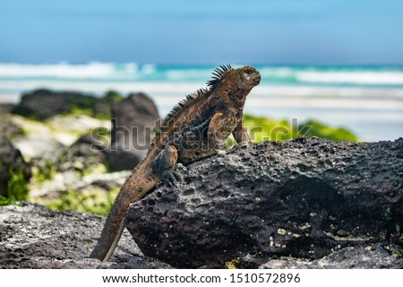 Galapagos Iguana in the sun on rock on Tortuga bay beach Santa Cruz Island Stock photo © Maridav