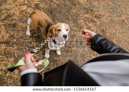 Cute beagle puppy looking at yummy snack held by his owner during chill Stock photo © pressmaster