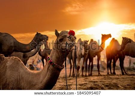 Kamelen eerlijke kameel cultuur- stad Stockfoto © cookelma