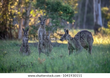 Kangaroos eating grass in late afternoon Stock photo © lovleah