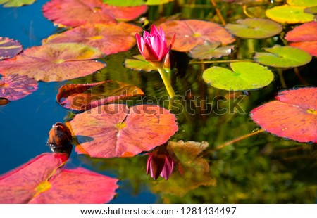 pink water lilly reflection mission san juan capistrano garden c stock photo © billperry