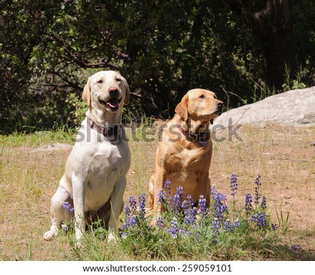 Pair of Labrador dogs sitting obediantely waiting for instruction Stock photo © jeffbanke