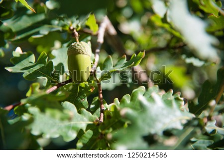 oak tree branch acorn nut as beautiful autumn season background stock photo © stevanovicigor