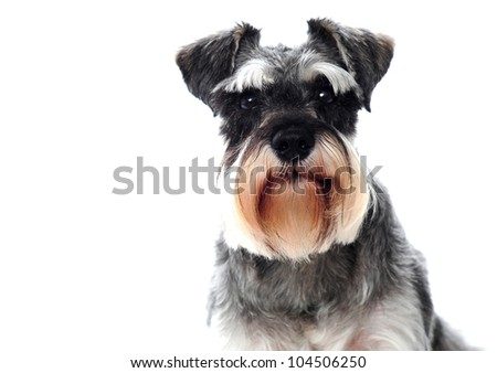 puppy schnauzer sitting  in white studio Stock photo © vauvau