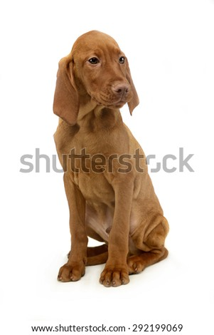 puppy hungarian vizsla sitting and looking sideways in a white b stock photo © vauvau