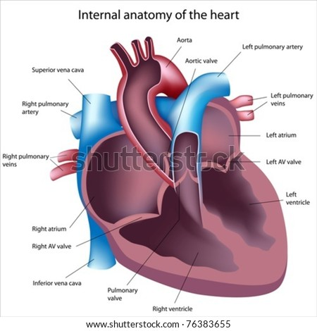 healthy artery cross section normal cardiogram and heart anatom stock photo © tefi