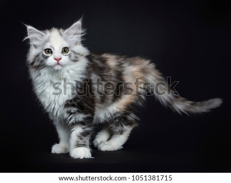 Stock photo: High white tortie Maine Coon girl kitten isolated on black background