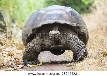 гигант черепаха ходьбе острове Сток-фото © Maridav