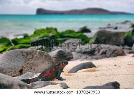 christmas iguana on espanola island on galapagos islands   marine iguana stock photo © maridav