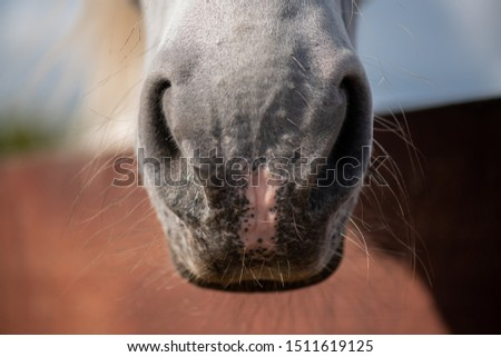 Front part of purebred racehorse muzzle with nostrils and short hair Stock photo © pressmaster
