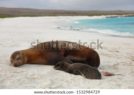 galapagos islands animals newborn baby sea lion pup right after birth by mother stock photo © maridav