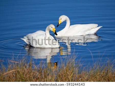 Pływanie jezioro słońce piękna lodu ptaków Zdjęcia stock © olira