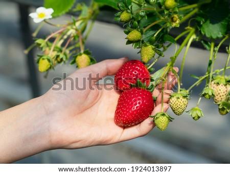 Woman picking strawberries at hydroponic farm in the greenhouse BANNER, LONG FORMAT Stock photo © galitskaya