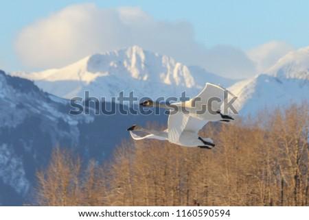 Trumpeter Swans Cygnus buccinator Flying Snow Mountains Skagit V Stock photo © billperry