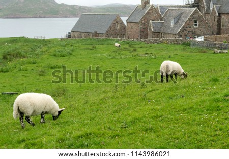 Sheep in the fields of Iona in the Inner Hebrides, Scotland, Europe Stock photo © Julietphotography