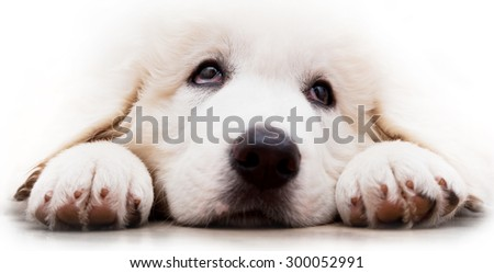 cute white puppy dog lying and looking up polish tatra sheepdog stock photo © photocreo